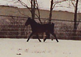 Trot In Snow yet again magnified 2003.JPG (13629 bytes)